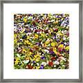 Viola Tricolor Framed Print