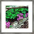 Violet Wood Sorrel Framed Print