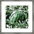 Waterelons In A Vegetable Garden Framed Print