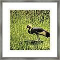 West African Crowned Crane Framed Print