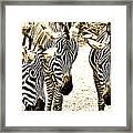 Whispering Zebras Framed Print