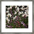 White Narcissus With Pink English Daisies In A Spring Garden Framed Print