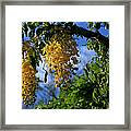 Wilhelmina Tenney Rainbow Shower Tree Makawao Maui Flowering Trees Of Hawaii Framed Print