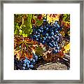 Wine Grapes Napa Valley Framed Print by Garry Gay