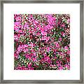 Wonderful Pink Azaleas Framed Print