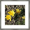 Yellow Crocus Framed Print
