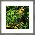 Yellow Sedum At Pilgrim Place In Claremont-california Framed Print