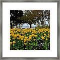 Yellow Tulips Of Fairhope Alabama Framed Print