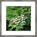 Young Seed Cones Of Lawson Cypress Framed Print