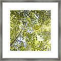 Aspen Canopy With Sun Flare Framed Print