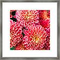 Beautiful Of Red Garden Dahlia Flower Framed Print