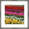 Blazing Tulips Framed Print