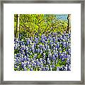 Bluebonnets, Texas Framed Print