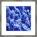 Lavender Field With Bee Framed Print