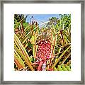 Pineapple Plant Ananas Pico Island Azores Portugal Framed Print