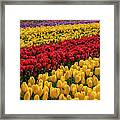 Row After Row After Row Of Tulips Framed Print