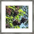 Sambucus Elderberry Sureau Framed Print