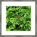 Scarlet Darter Male Dragonfly Framed Print