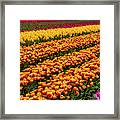 Stunning Rows Of Colorful Tulips Framed Print