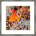 The Fiji Clownfish  Amphiprion Barberi Framed Print