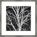 White Birch Framed Print