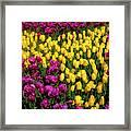 Yellow Star Tulips Framed Print