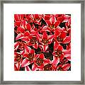 Bouquet of Red Tulips Framed Print