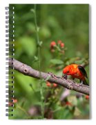 Berry Eating  Scarlet Tanager Spiral Notebook