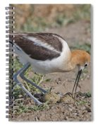 American Avocet And Eggs Spiral Notebook