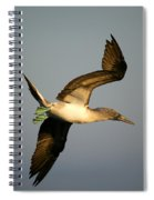 Blue-footed Booby, Sula Nebouxii, Santa Spiral Notebook