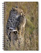 Cheetah Carrying Its Prey Spiral Notebook