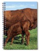 Cows Salers Spiral Notebook