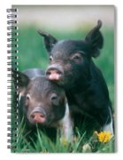 Domestic Piglets Spiral Notebook