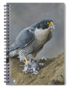 Peregrine Eating Pigeon Spiral Notebook