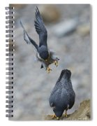 Peregrine Falcons Mating Spiral Notebook