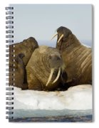Walruses Resting On Ice Floe Spiral Notebook