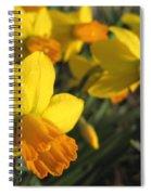 Dwarf Cyclamineus Daffodil Named Jet Fire Spiral Notebook