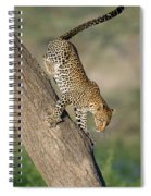 Leopard Panthera Pardus On Tree, Ndutu Spiral Notebook