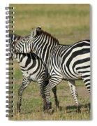 Zebra Males Fighting Spiral Notebook