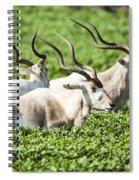 Addax Nasomaculatus Spiral Notebook