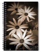 African Daisy Named African Sun Spiral Notebook