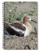American Avocet On Eggs Spiral Notebook