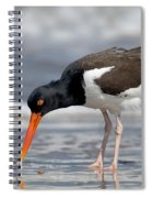 American Oystercatcher Feeding On Clam Spiral Notebook