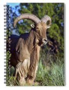 Aoudad Sheep  Spiral Notebook