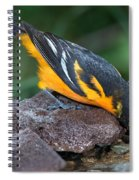 Baltimore Oriole Drinking Spiral Notebook