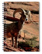 Big Horn Ram At Zion Spiral Notebook