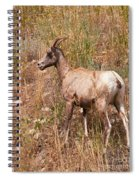 Big Horn Sheep Ewe Spiral Notebook