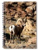 Bighorn Stare Spiral Notebook
