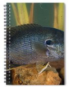 Bluegill Lepomis Macrochirus Spiral Notebook