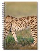 Cheetah Acinonyx Jubatus Walking Spiral Notebook
